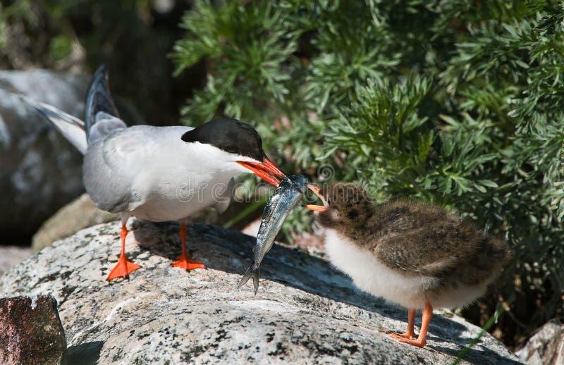 Alimentazione di un uccello di bambino. fotografia stock libera da diritti