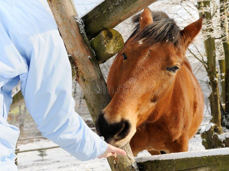 Alimentazione invernale del cavallo fotografia stock