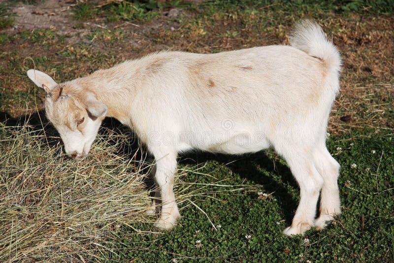 Alimentazione pigmea della capra immagini stock libere da diritti