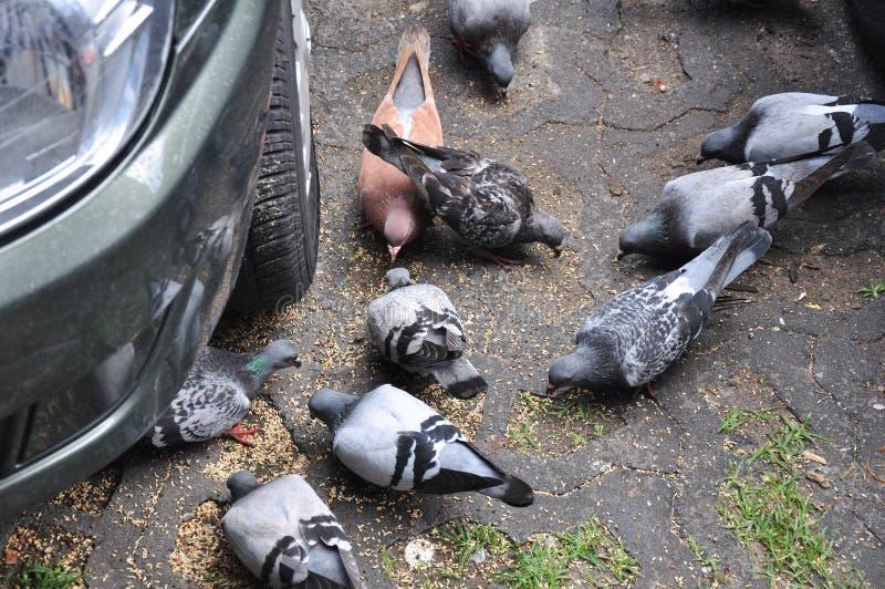 Alimentazione urbana dei piccioni fotografia stock libera da diritti