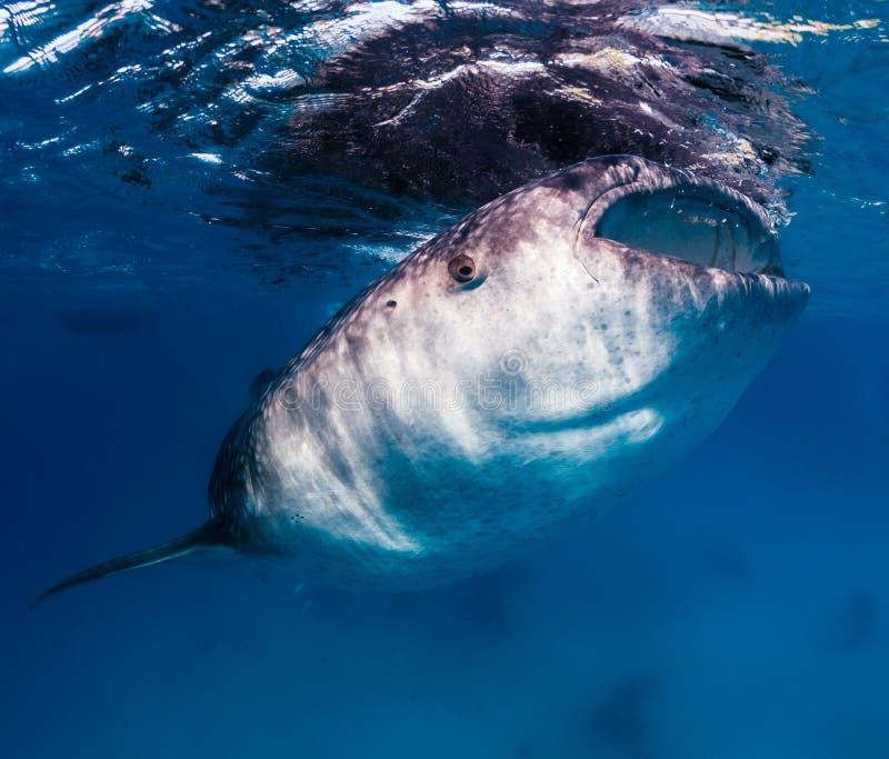 Alimentazioni grandi di uno squalo balena vicino alla superficie fotografie stock libere da diritti