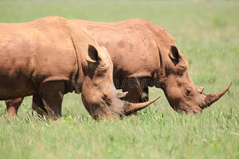Alimenter blanc de rhinocéros photographie stock