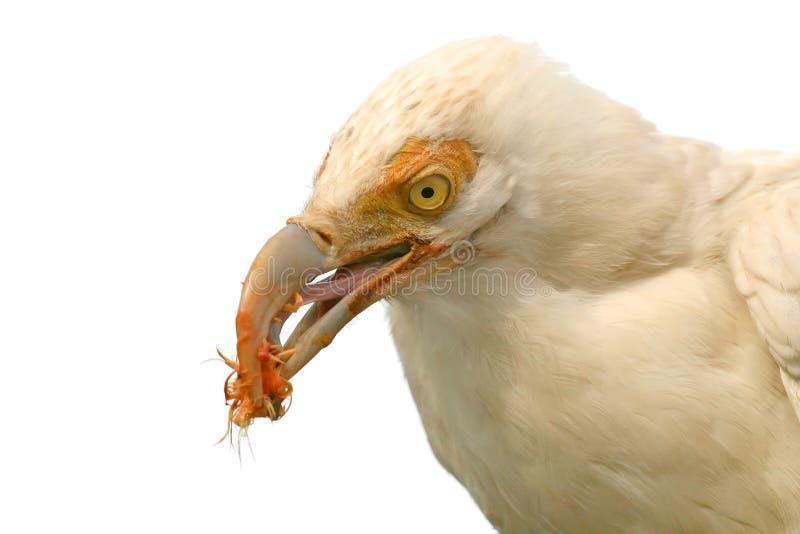 Alimenter blanc de vautour photographie stock libre de droits