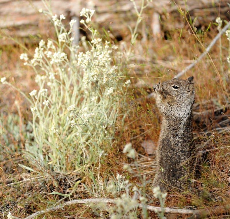 Alimenter d'écureuil de Douglas images libres de droits