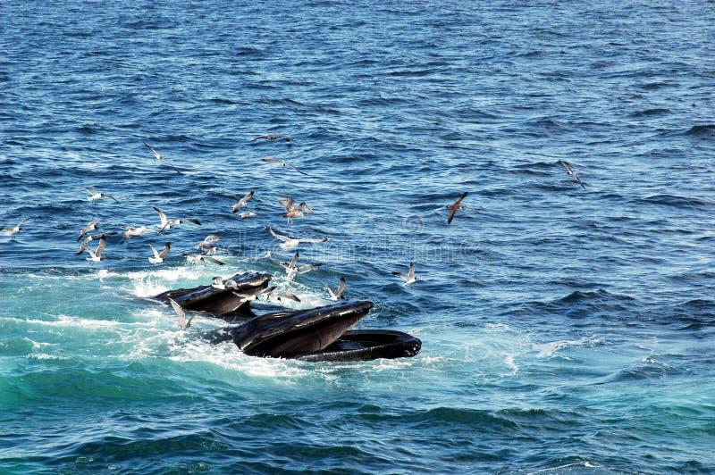 Alimenter de baleines de bosse photos libres de droits