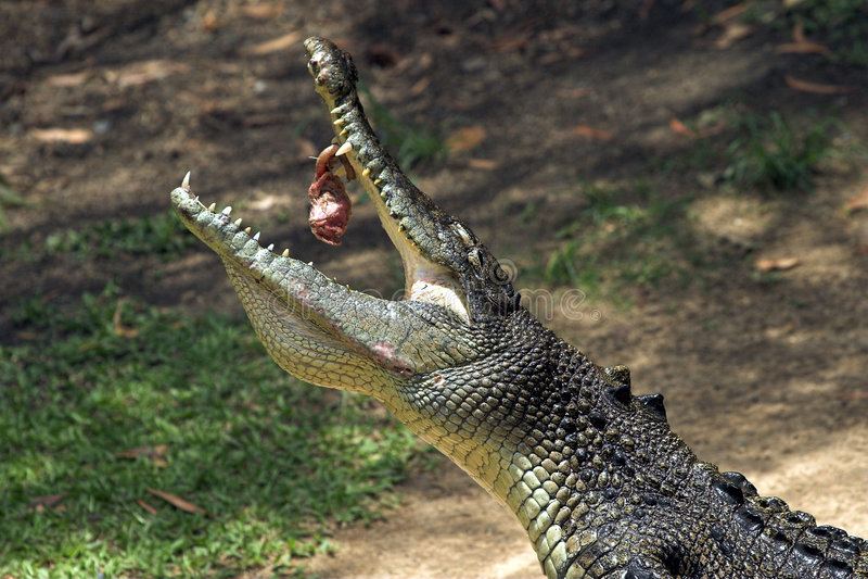 alimenter de crocodile image stock
