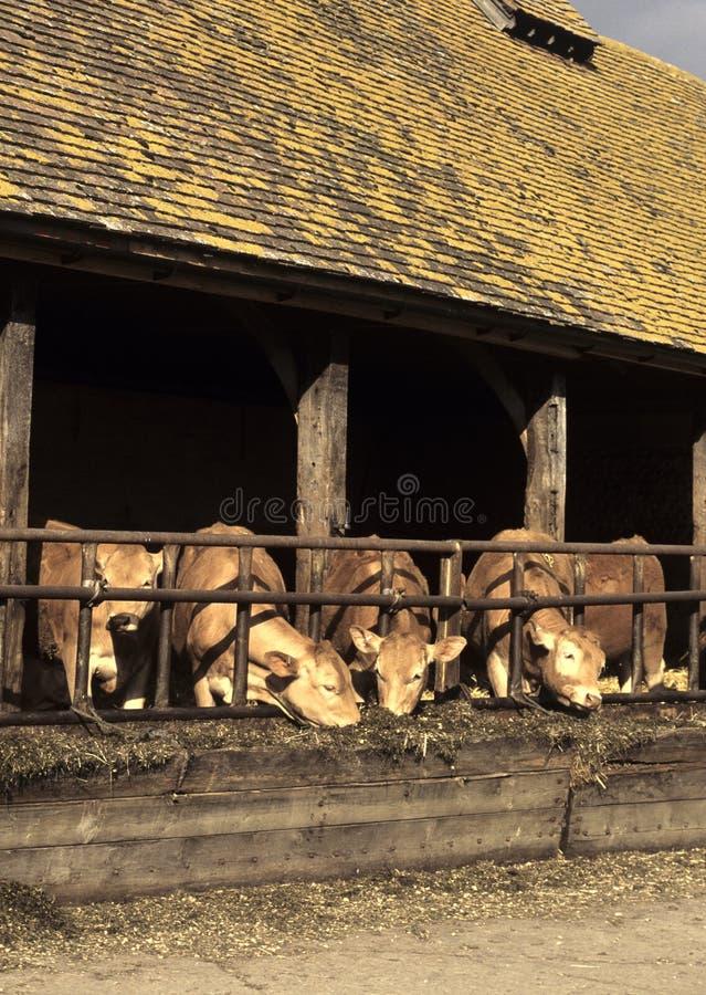 Alimenter de vaches images libres de droits