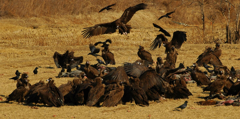Alimenter de vautours photo stock