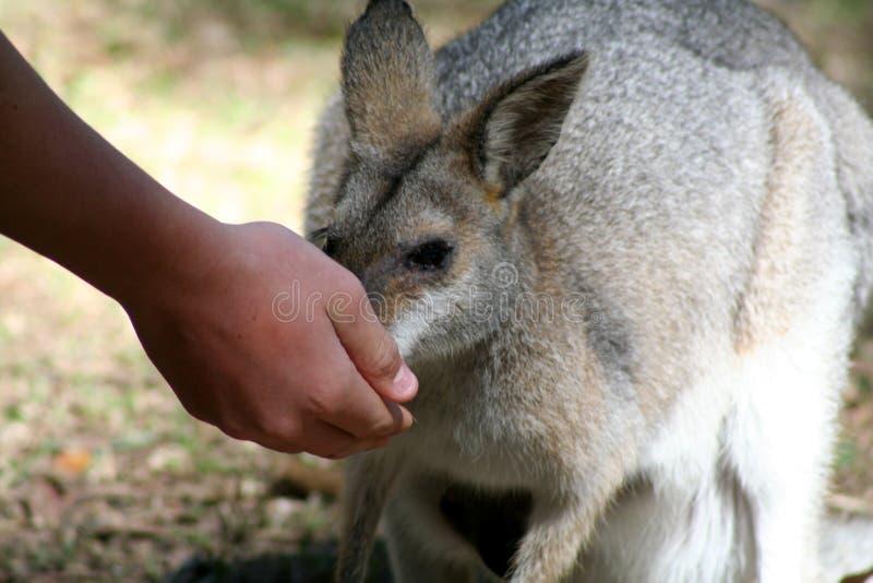 Alimenter de Wallaby photographie stock