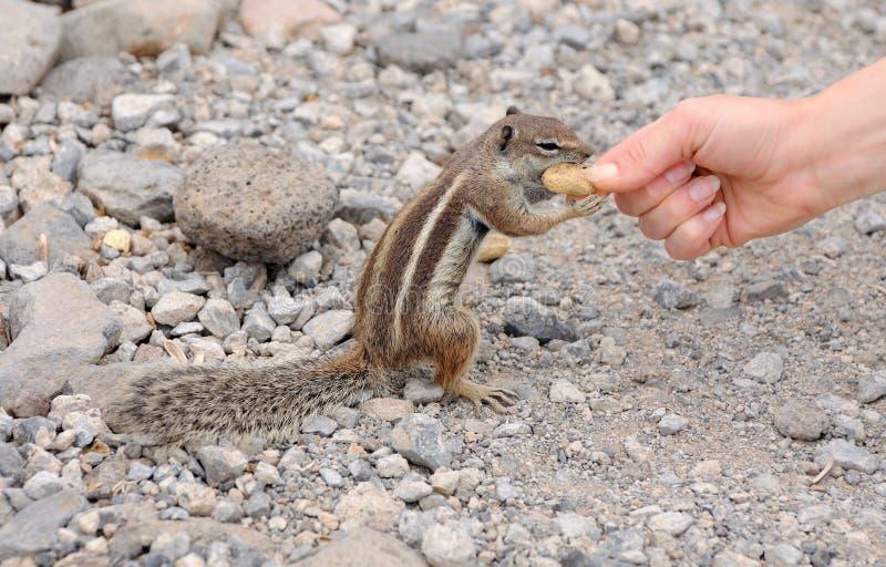 Alimenter un écureuil mignon photo stock