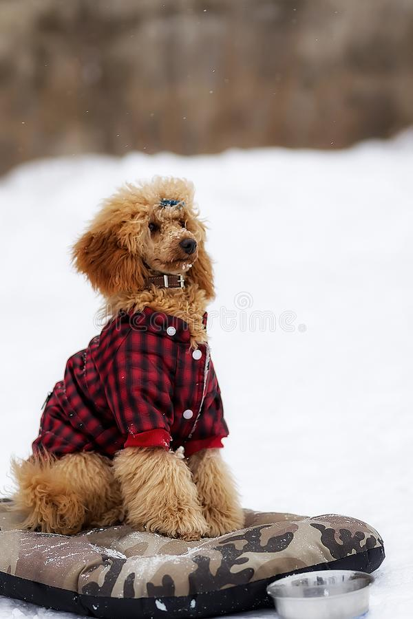 Alimento aspettante del barboncino rosso nell'inverno sulla via fotografia stock