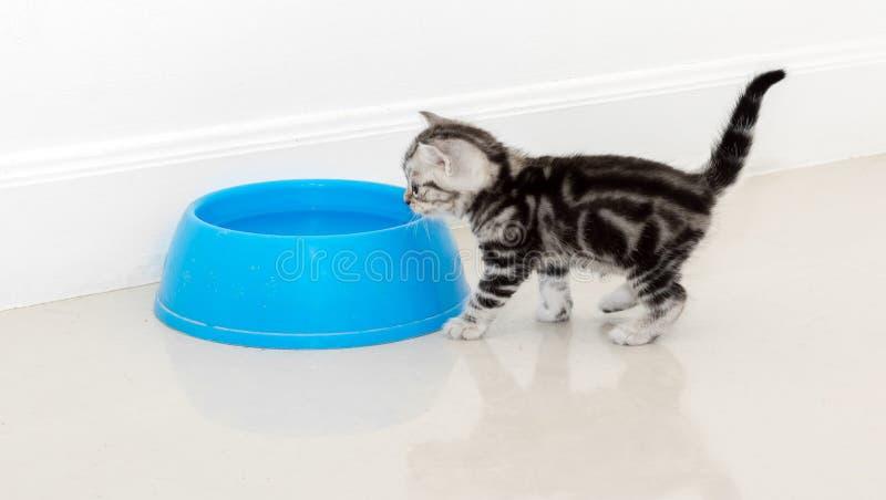 Alimento aspettante del gatto americano dello shorthair immagini stock