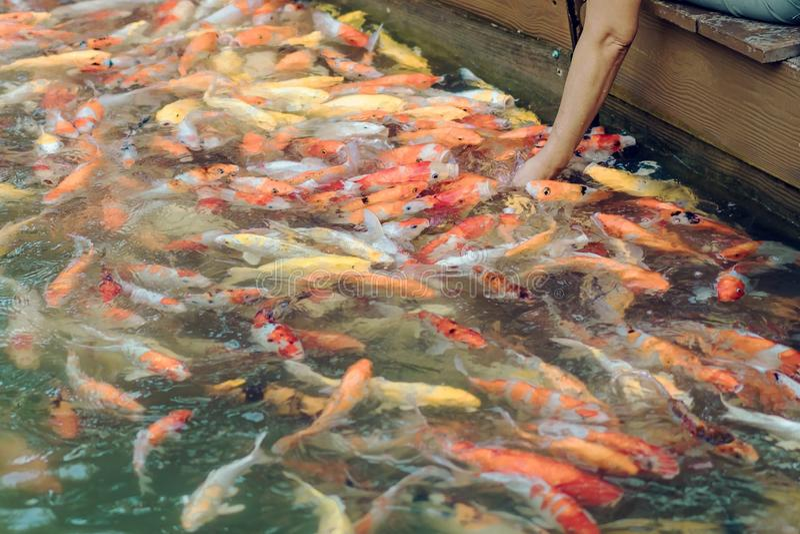 Alimento de alimentação da mulher para gostar à mão de peixes da carpa fotos de stock royalty free