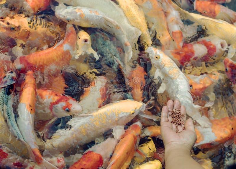 Alimento de alimentação da mulher para gostar à mão de peixes da carpa foto de stock
