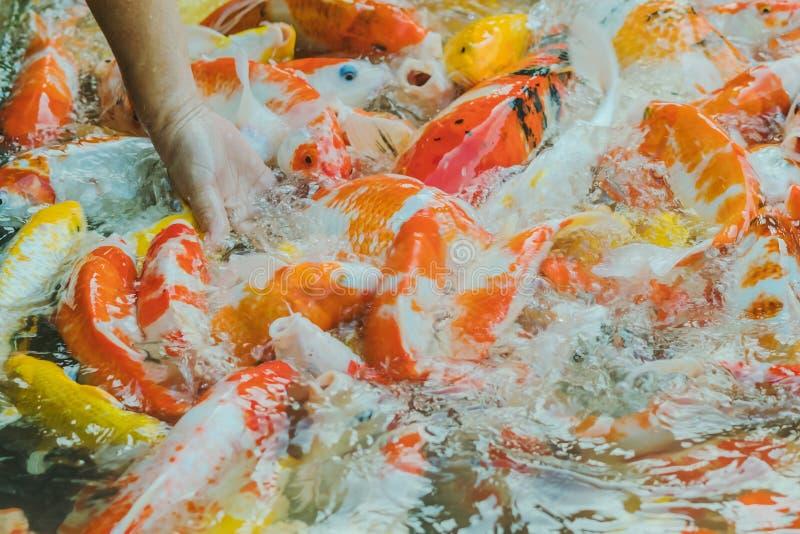 Alimento de alimentação da mulher para gostar à mão de peixes da carpa imagens de stock