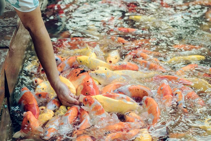 Alimento de alimentação da mulher para gostar à mão de peixes da carpa imagens de stock royalty free