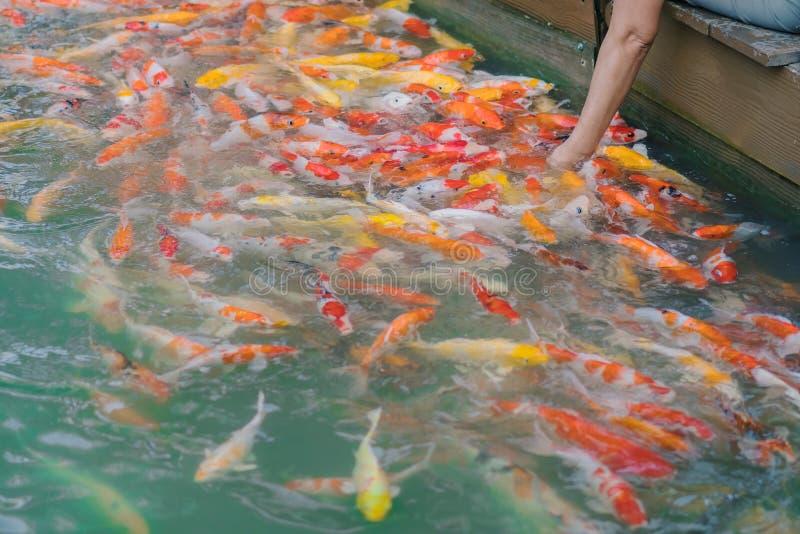 Alimento de alimentação da mulher para gostar à mão de peixes da carpa foto de stock royalty free