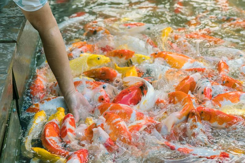 Alimento de alimentação da mulher para gostar à mão de peixes da carpa imagem de stock royalty free