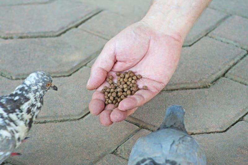 Alimento de pássaro à disposição, pássaros de alimentação da mão do homem no templo foto de stock royalty free