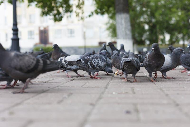 Alimento del bacetto dei piccioni fotografia stock libera da diritti