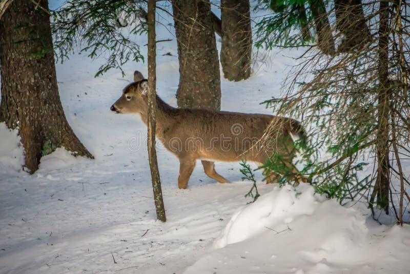 Alimento di ricerca dei cervi dalla coda bianca in neve immagini stock libere da diritti