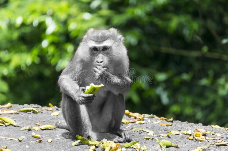 Alimento do macaco fotos de stock