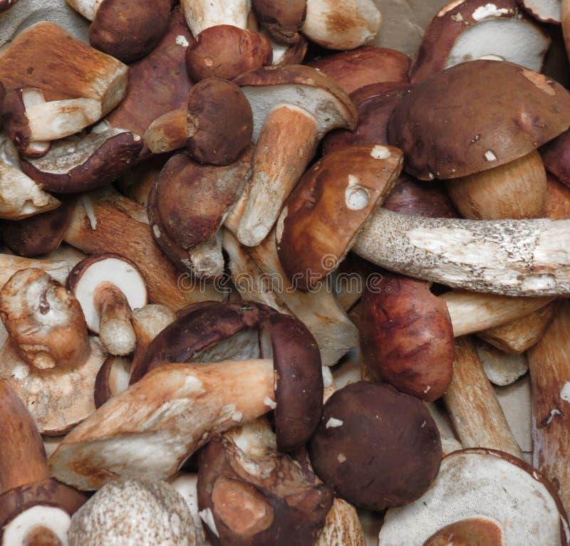 Alimento edulis del fungo del boletus di Porcini fotografia stock