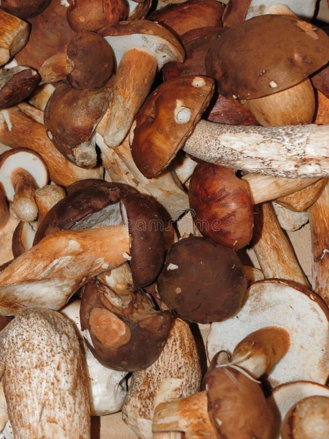 Alimento edulis del fungo del boletus di Porcini fotografie stock