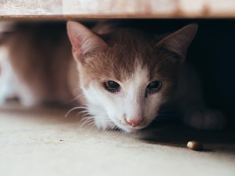 Alimento novo da caça do gato sob a mobília foto de stock