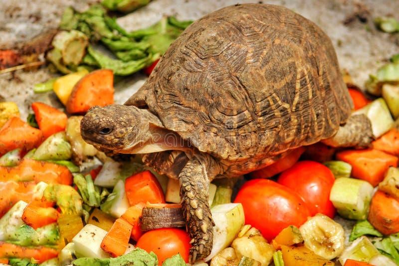 Alimento para a tartaruga imagem de stock