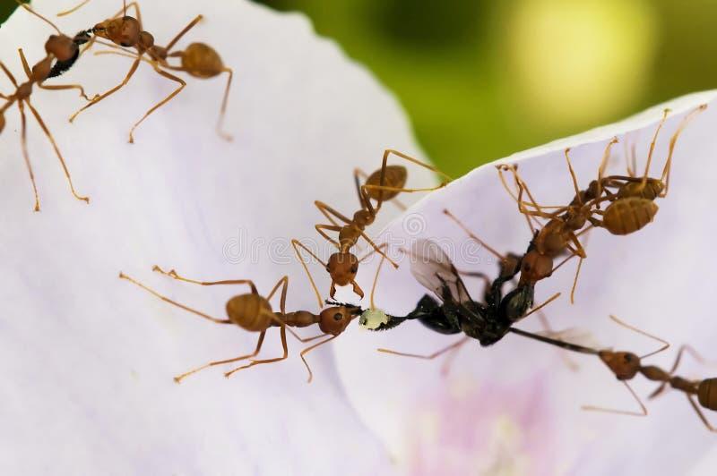 Alimento rojo de las hormigas fotografía de archivo