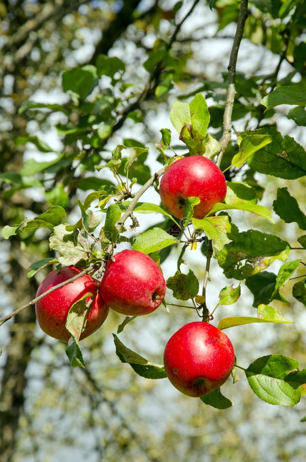 Alimento saudável vermelho maduro da filial de árvore do cair da fruta da maçã fotografia de stock