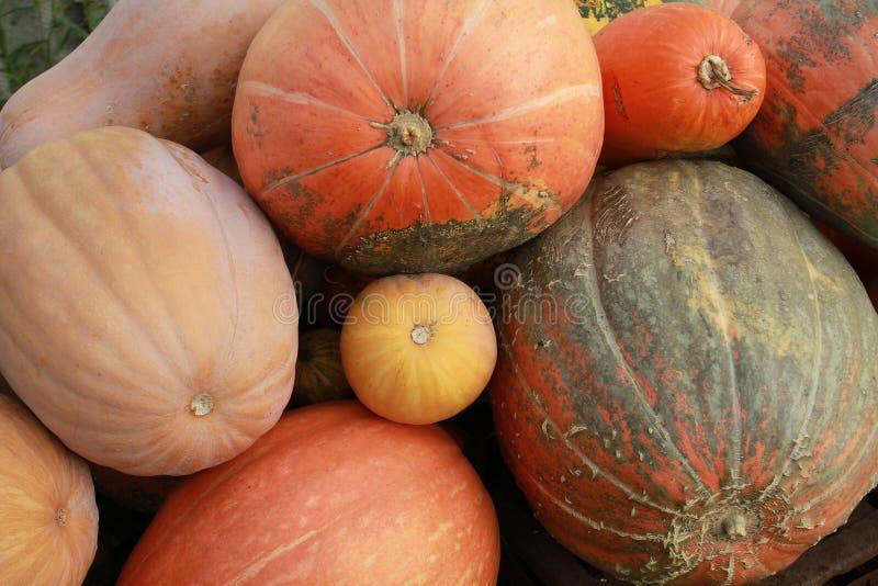 Alimento vegetariano dietetico La grande zucca arancio Copertura del mA fotografia stock