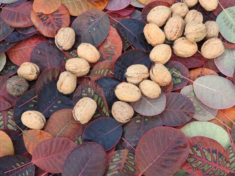 Alimento vegetariano sano Noci in atmosfera di autunno fotografia stock libera da diritti