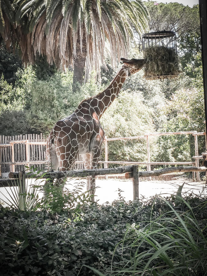 Aliments de préparation rapide d'AMD de girafe photo stock