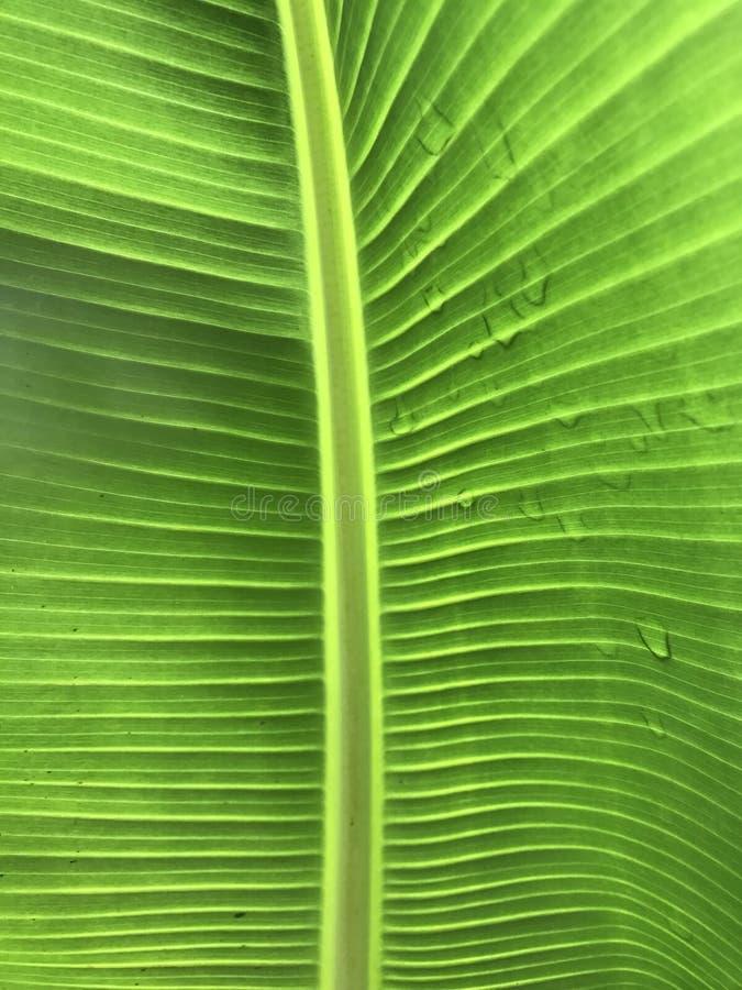 Alinhador longitudinal da folha da banana com gotas da água imagem de stock royalty free