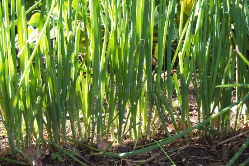 Alinhe as cebolas verdes fotos de stock