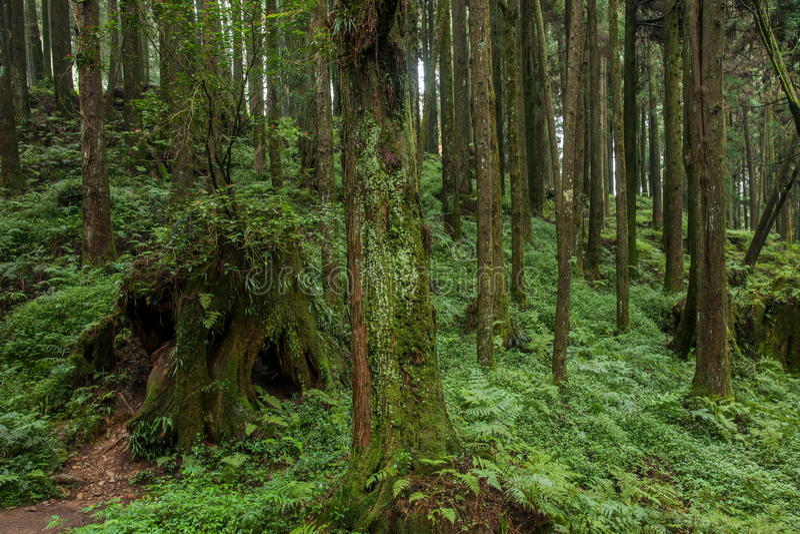 Alishan, Chiayi-Stadt, Taiwan-Urwald stockfotos