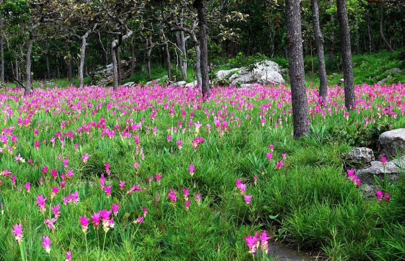 Alismatifolia cor-de-rosa da curcuma das tulipas de Sião que floresce no campo fotos de stock