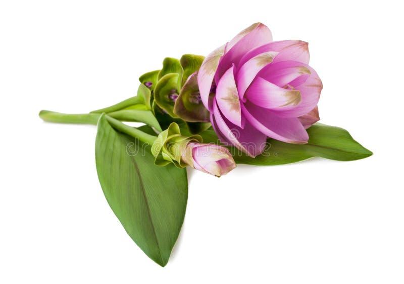 Alismatifolia de safran des Indes photos stock