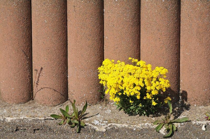 Alison dorata che cresce su una parete del giardino fotografia stock