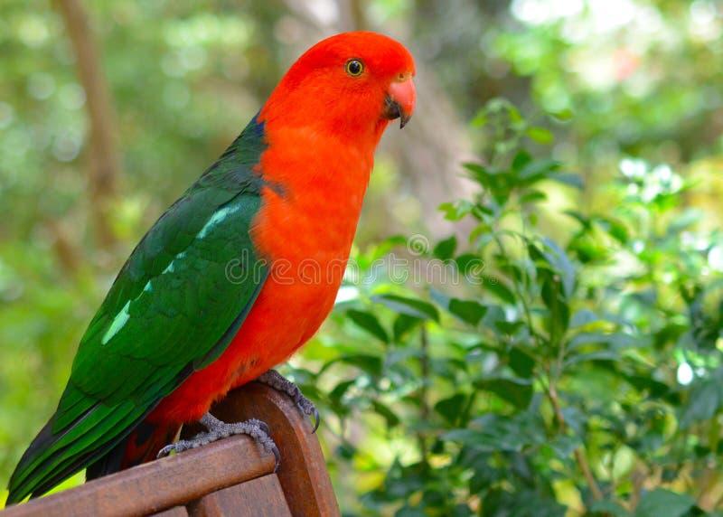 alisterus澳大利亚国王鹦鹉scapularis 免版税图库摄影