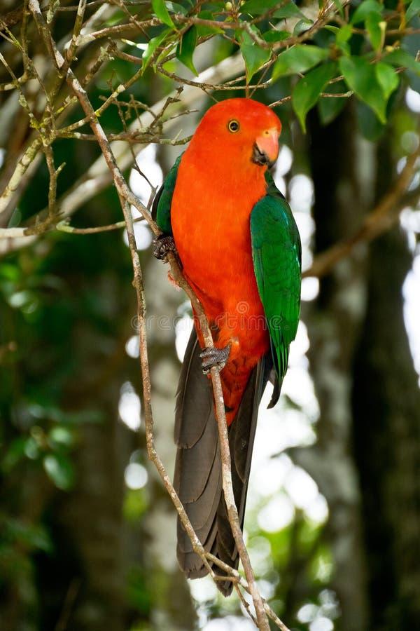 alisterus澳大利亚国王鹦鹉scapularis 免版税库存图片