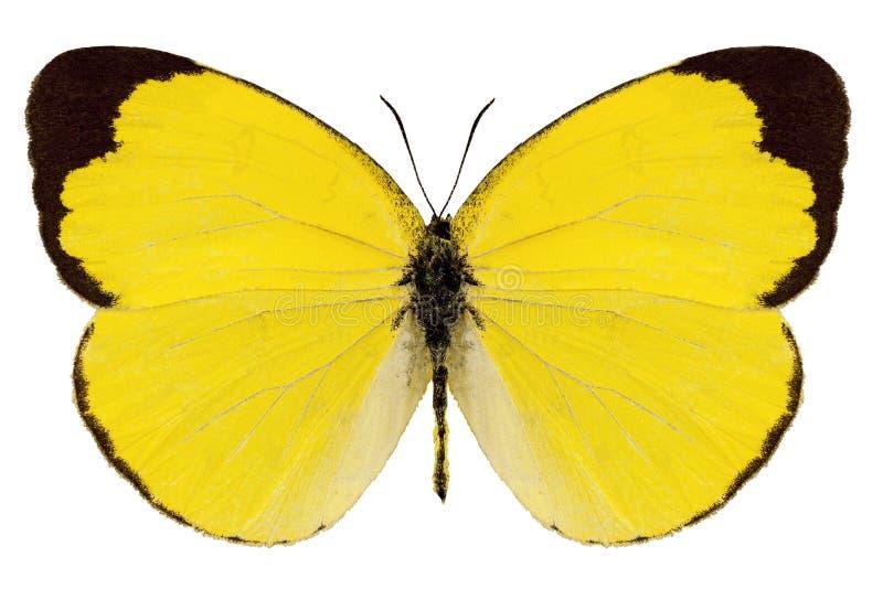 Alitha de Eurema de la especie de la mariposa imagen de archivo libre de regalías