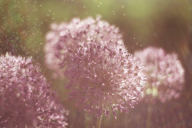 Alium-Blume mit L?wenzahnblumenstrukturespritwasser f?llt Makro Weicher Fokus Flache Sch?rfentiefe stockfotos