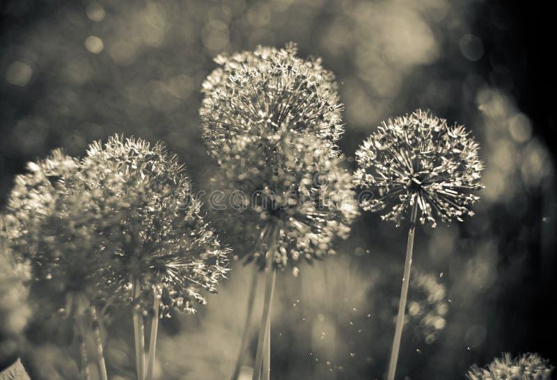 Alium Gigantium Flower Head with dandelion flower structure. macro. soft focus. Black and white photo royalty free stock images