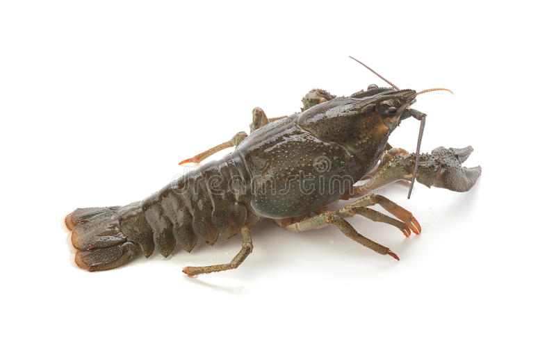 Alive crawfish. Alive isolated crawfish on the white background royalty free stock photo