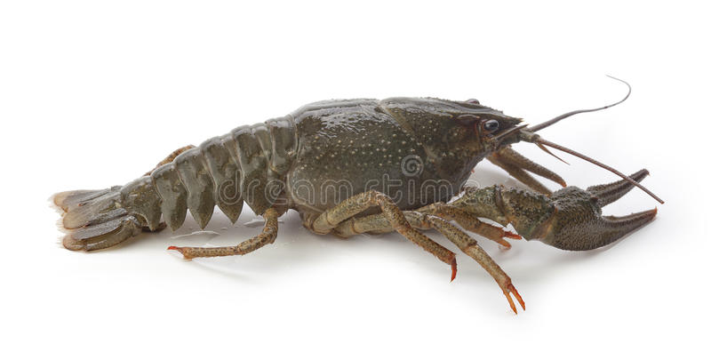 Alive crawfish. Alive isolated crawfish on the white background stock photo