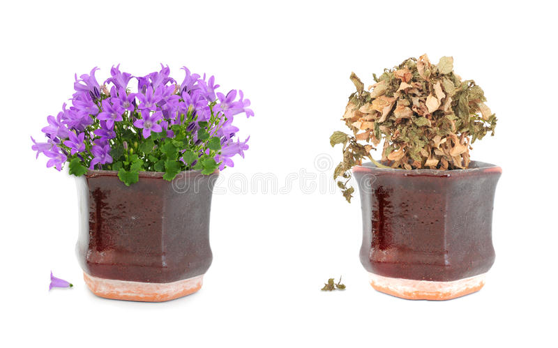 Alive and dead purple flowers in pot royalty free stock images