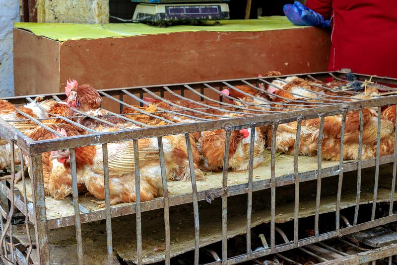 Alive poultry offered for sale on a bird bazaar in Marrakesh royalty free stock photos